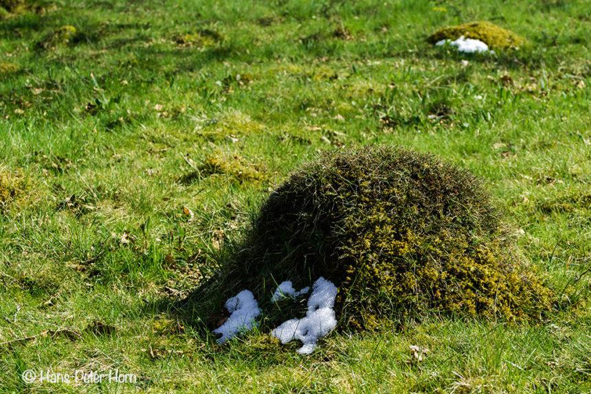 Ameisenhügel mit den letzten Schneeresten in der Ameisenstadt Dellenhäule