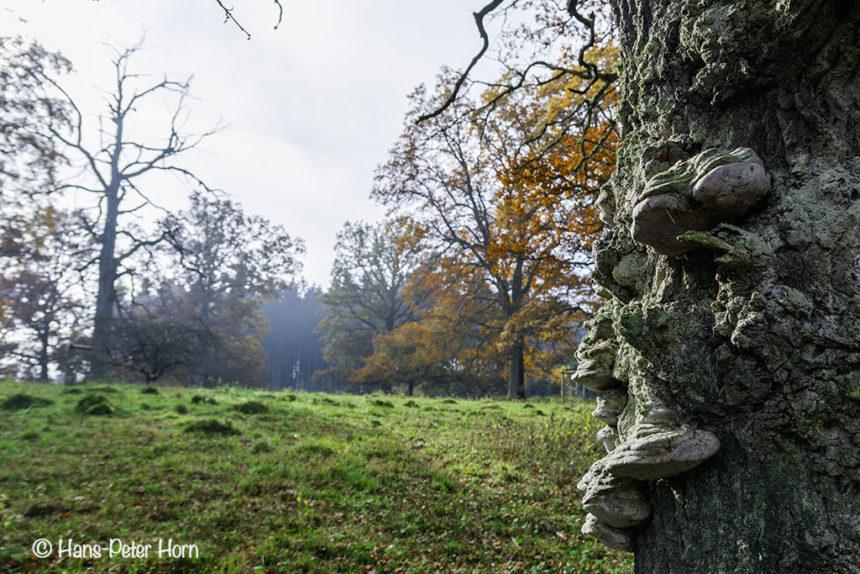 Eichenfeuerschwamm (Fomitiporia robusta) auf Huteeiche