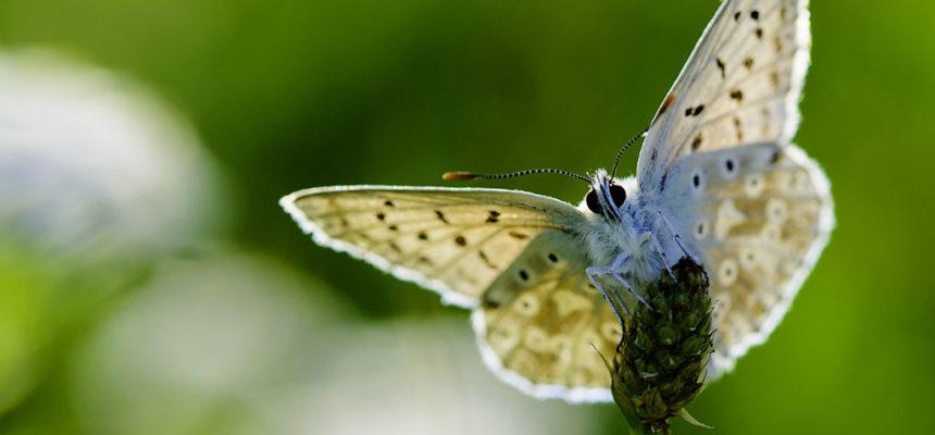 Himmelblauer Bläuling, Männchen (Lysandra bellargus )